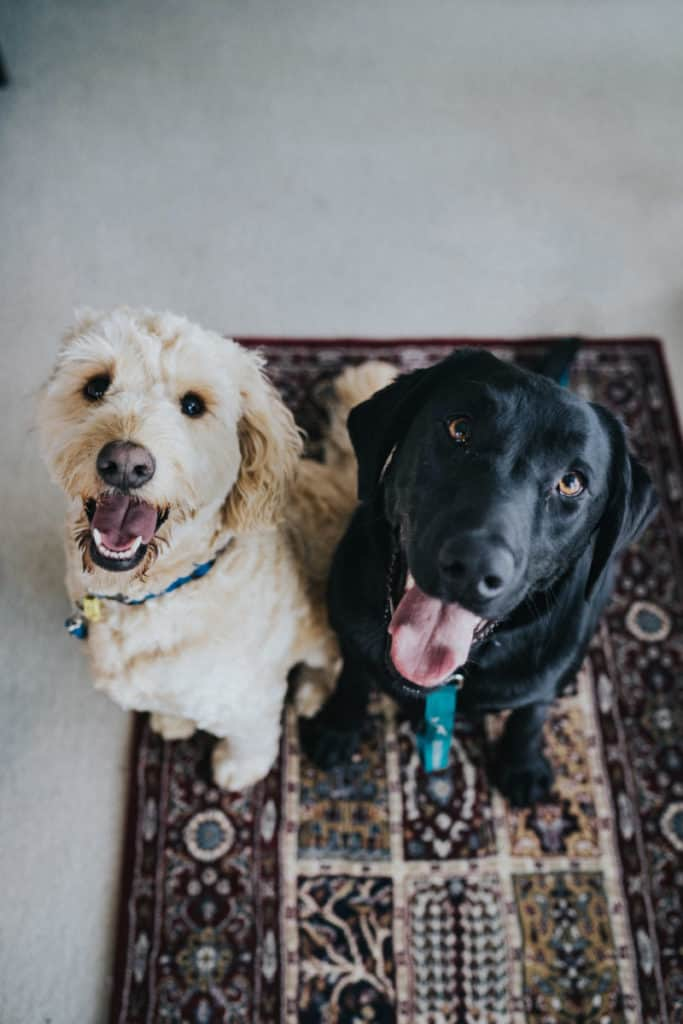 Two dogs looking happy while sat on a rug