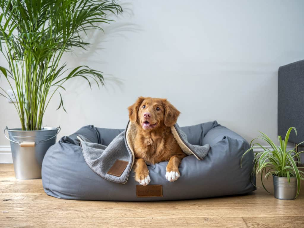 An adopted dog with brown fur sits on a beanbag chair