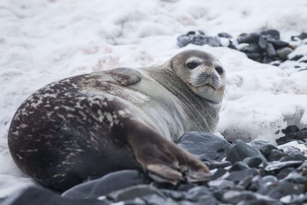 Seal lying on rock covered with snow