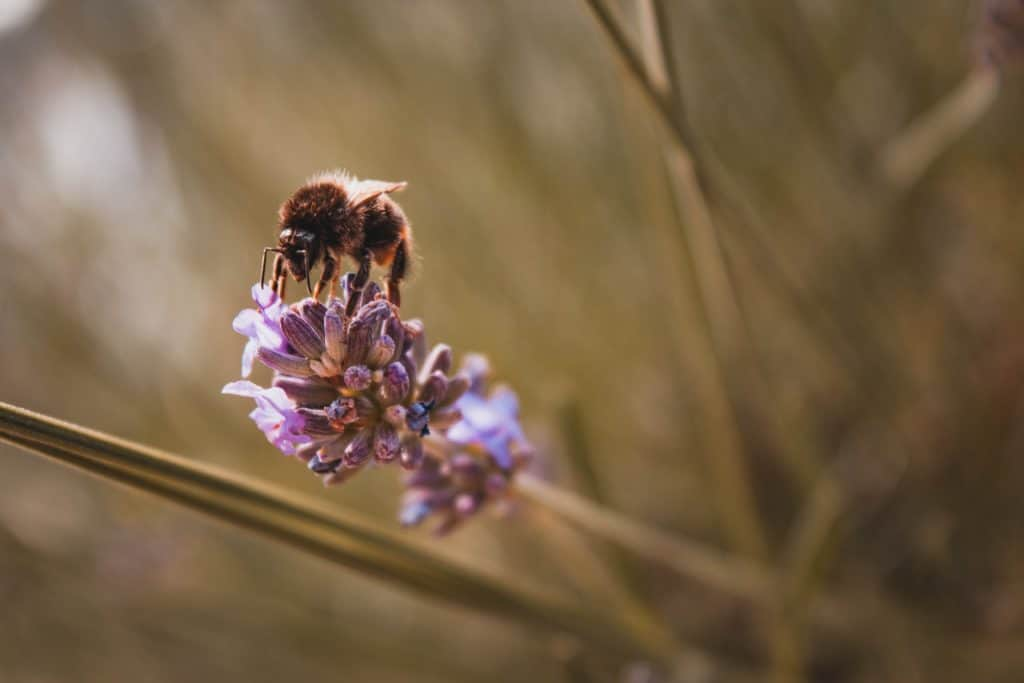 pollinator flowers for bees