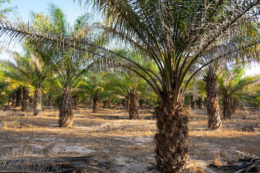 is palm oil bad